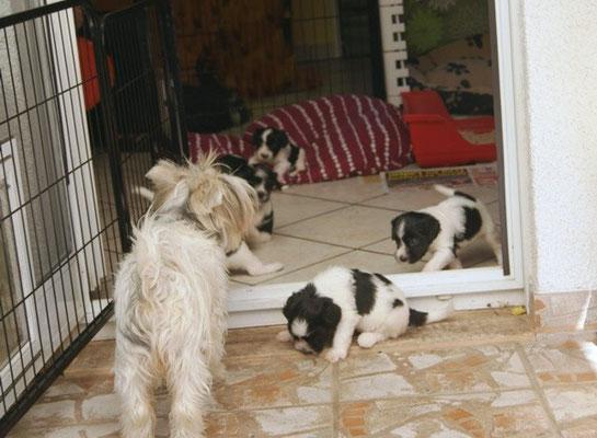 Ivy lockt die Kleinen nach Draußen / Schapendoes Y-Wurf von Happy Shaggy Family