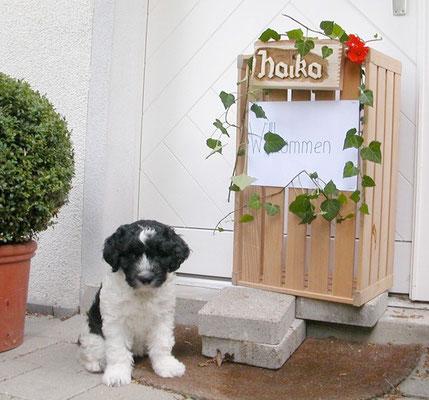 Schapendoes Haika Maja ist gut in der Schweiz angekommen