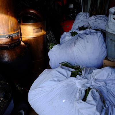 Basilic sacré en attente de distillation