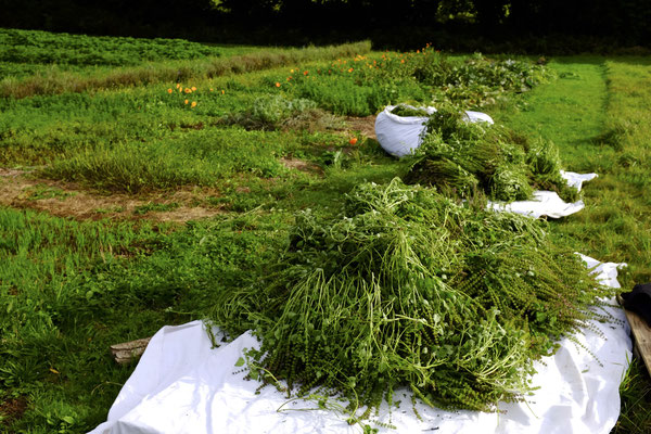 Récolte de basilic sacré (Tulsi)