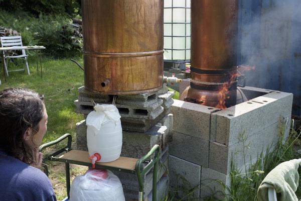 Distillation du laurier noble