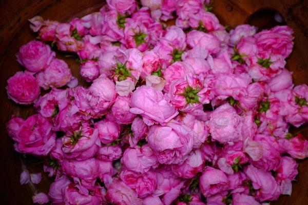 Roses de Provins et de Damas dans la cuve de distillation