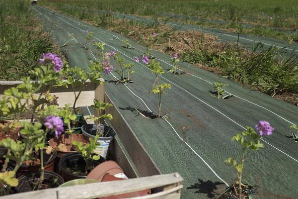 Plantation de géranium bourbon