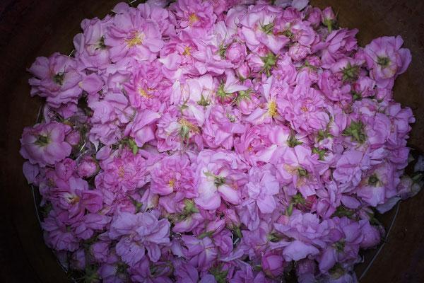Roses de Damas et roses galliques dans le ventre de l'alambic