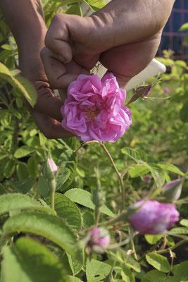 Cueillette de rose de Damas