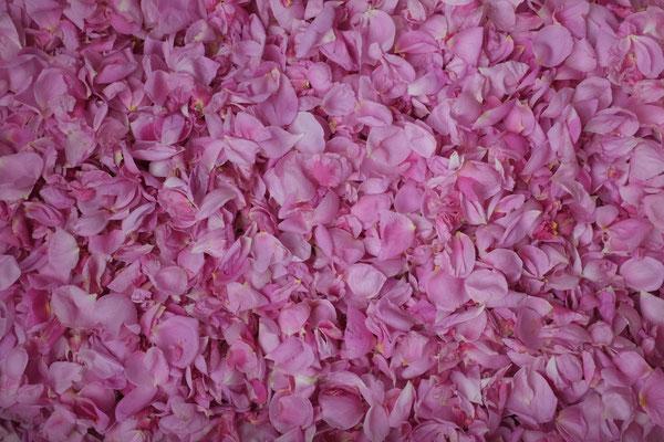 Pétales de roses (Damas et Provins)