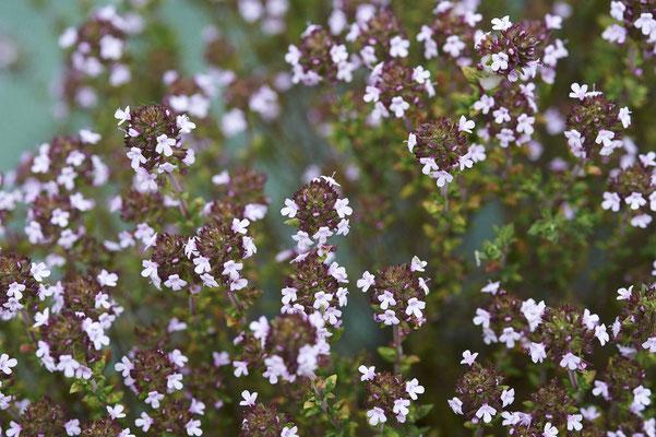 Thym vulgaire en fleurs