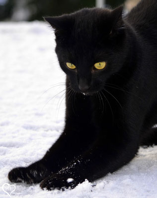>Schnee-Panther<