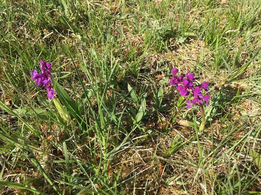 Orchideenpracht am Wisenberg, April 2020