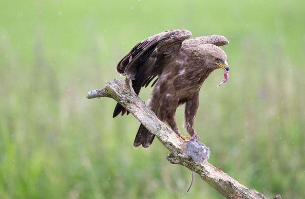 Schreiadler (Lesser Spotted Eagle)
