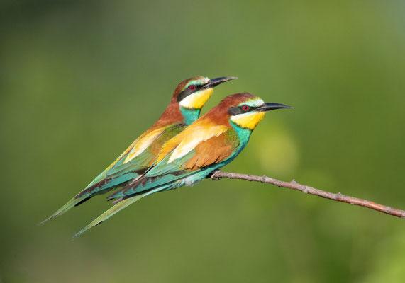 Bienenfresser (Bee-eater)