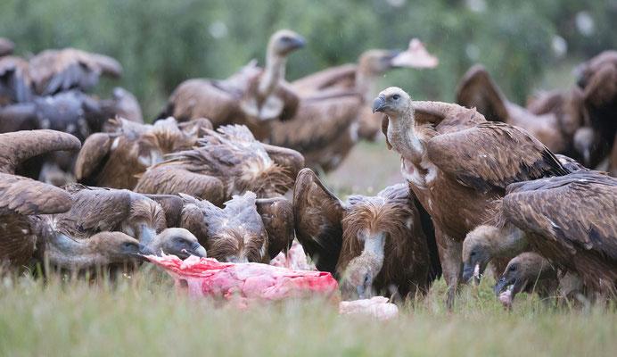 Gänsegeier (Griffon Vulture)