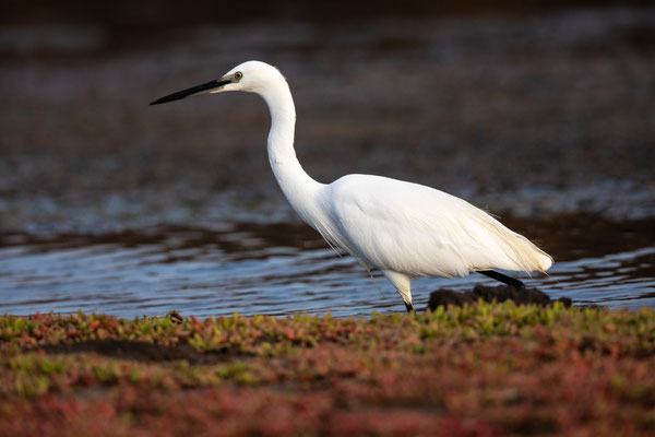 Seidenreiher (little egret)