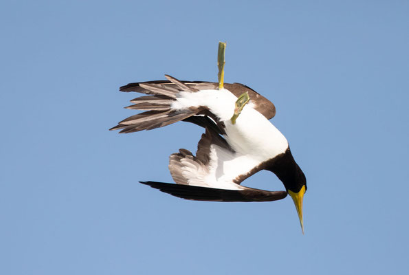 Weißbauchtölpel (brown booby)