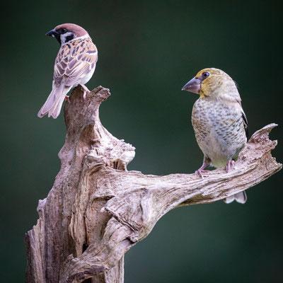 Kernbeißer Jungvogel und Feldsperling
