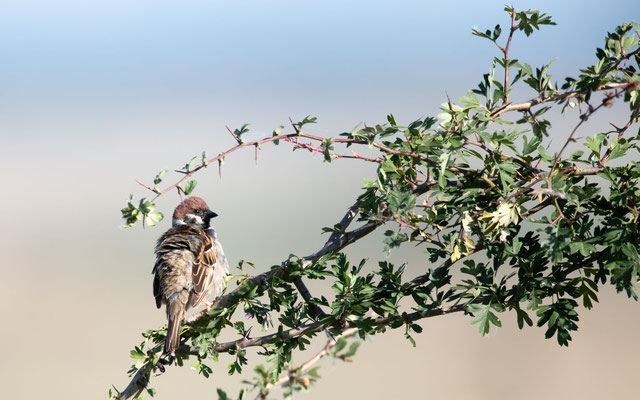 Feldsperling (Tree Sparrow)