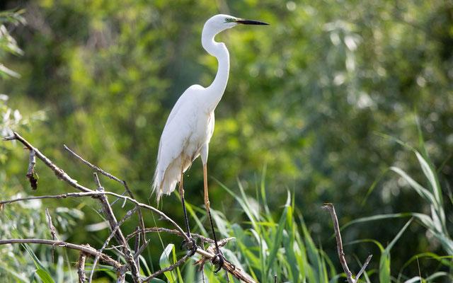 Silberreiher (Great White Egret)