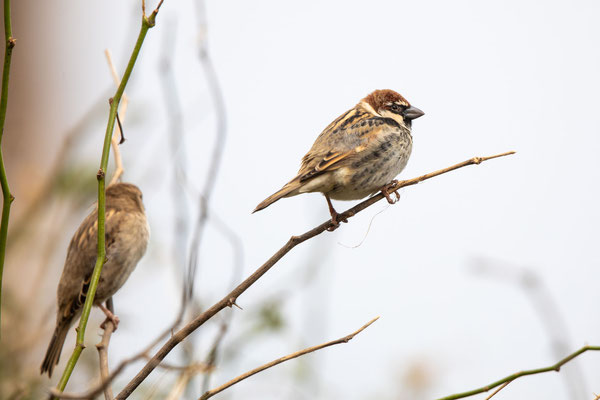 Jago-Sperling endemisch (jago sparrow)