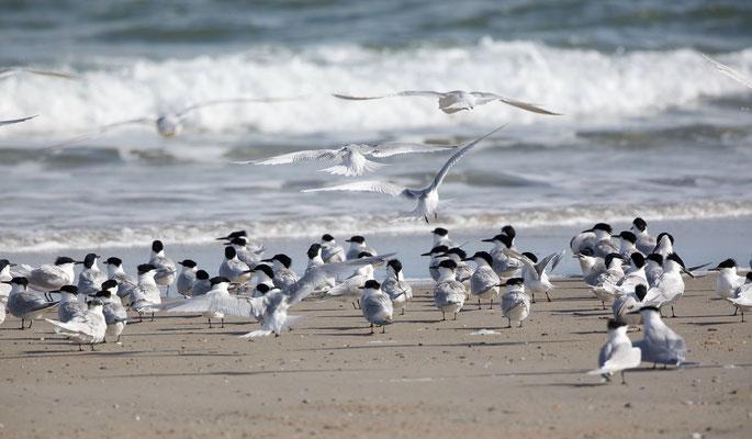 Brandseeschwalben (Sandwich Tern)