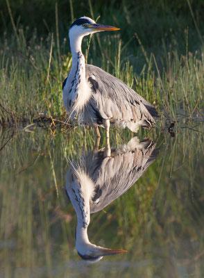 Graureiher (Gray Heron)