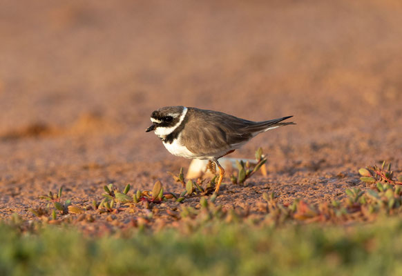 Sandregenpfeifer (great ringed plover)