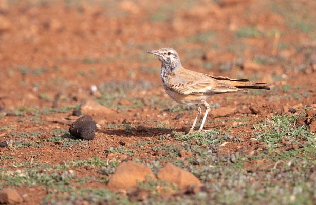 Wüstenläuferlerche (hoopoe lark)