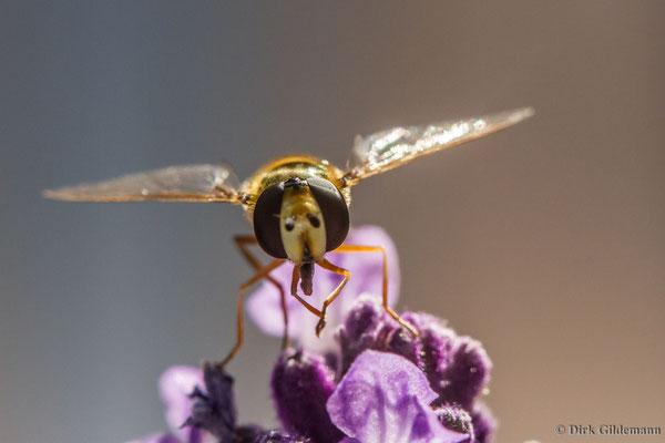 Schwebfliege auf Lavendel