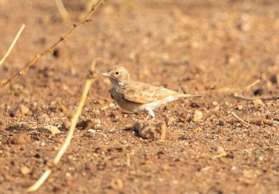 Sandlerche (bar-tailed (desert) lark)