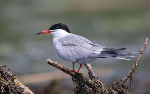 Flussseeschwalbe (Common Tern)