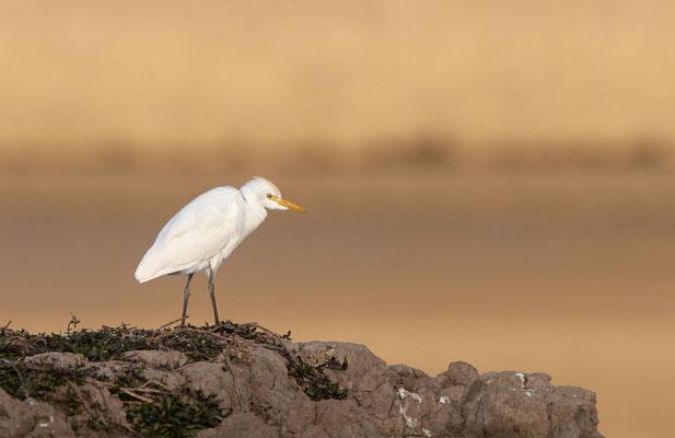 Kuhreiher (cattle egret)