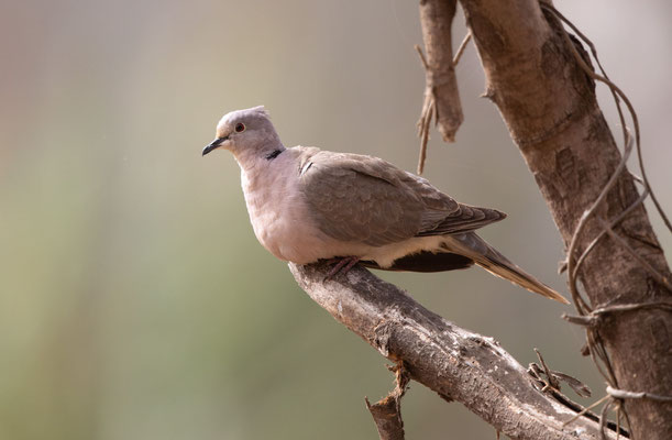 Turteltaube (turtledove)