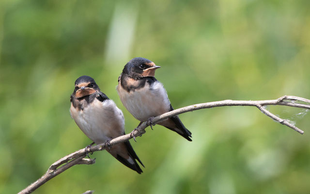 Rauchschwalben (Swallow)