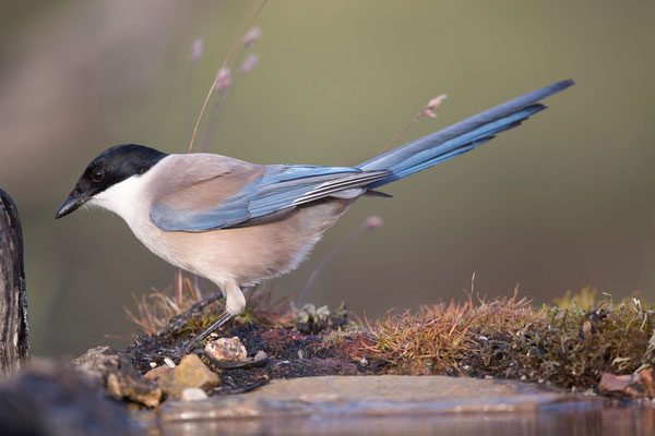 Blauelster (Azure-winged Magpie)