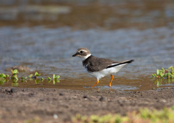 Sandregenpfeifer Jungvogel (great ringed plover)