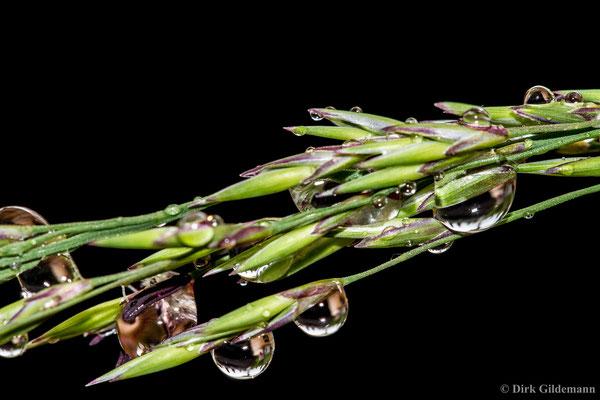 Gras nach dem Regen