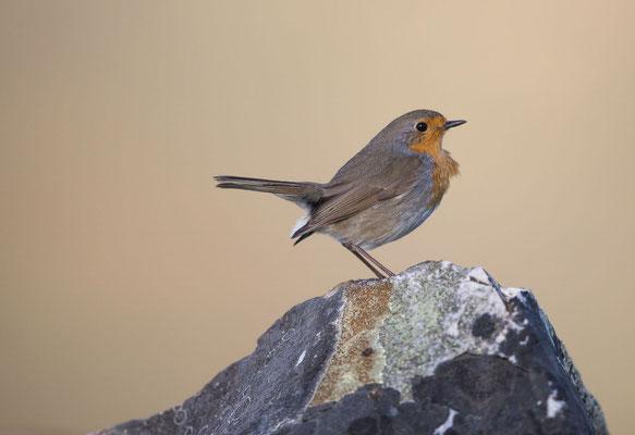 Rotkehlchen (Robin)