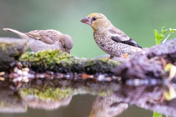 Kernbeißer Jungvogel