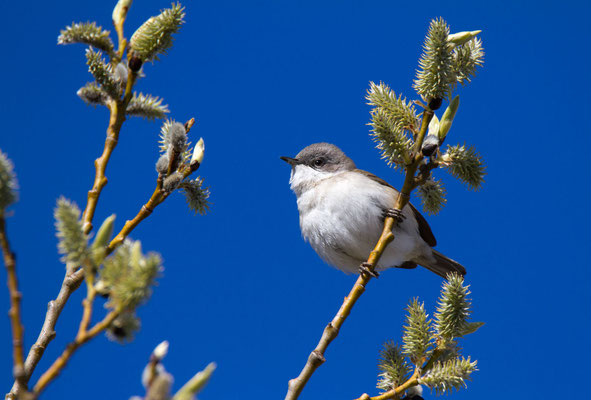 Dornengrasmücke (Whitethroat)