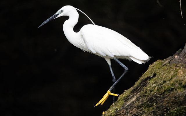 Seidenreiher (Little Egret)