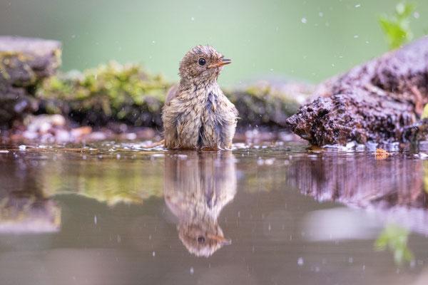 Rotschwänzchen Jungvogel