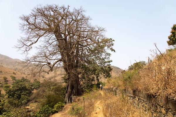 Der große Kapokbaum von Boa Entrada