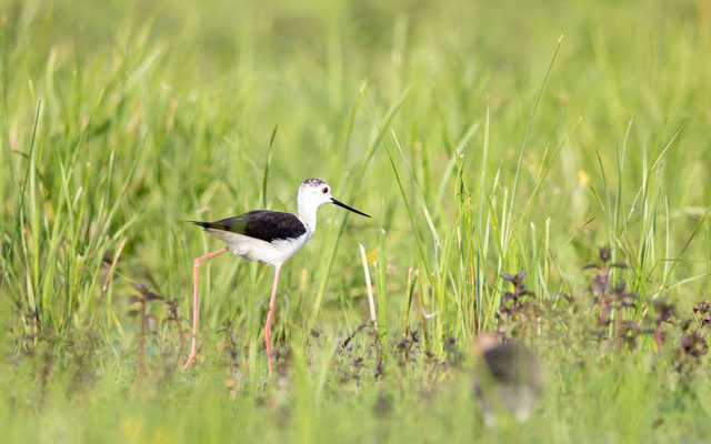 Stelzenläufer (Black-winged Stilt)