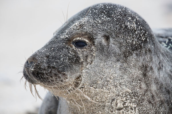 Kegelrobbe (Gray seal)