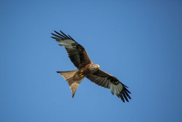 Rotmilan (Red Kite)