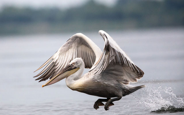 Krauskopf Pelikan (Curly Pelican)