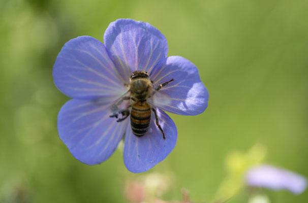 Geranium (Storchenschnabel)