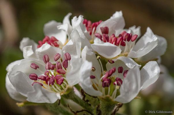 Birnenblühte