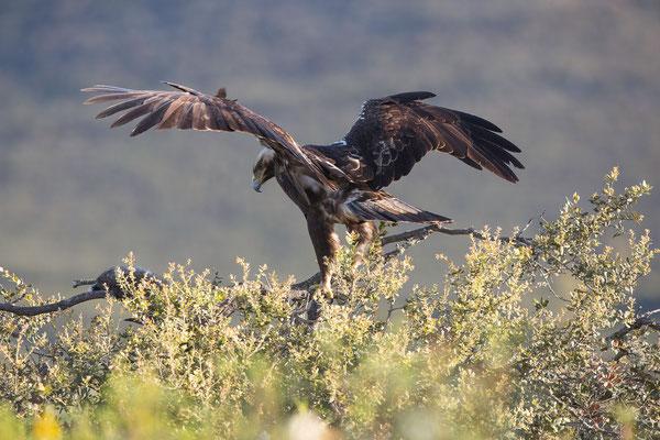 Spanischer Kaiseradler (Spanish imperial Eagle)