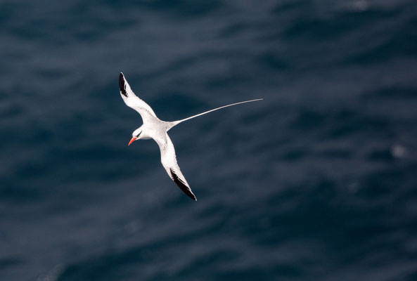 Rotschnabel-Tropikvogel (red-billed tropicbird)