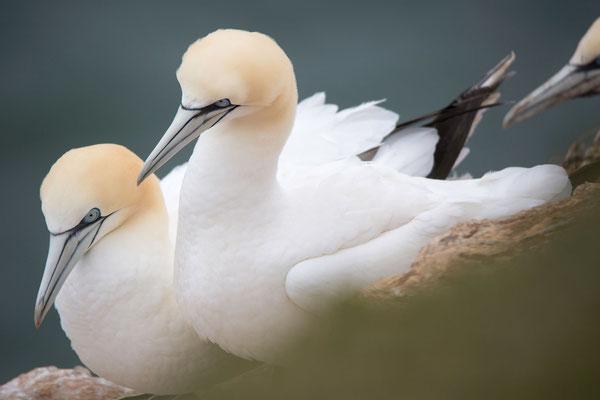 Basstölpel (Gannets)